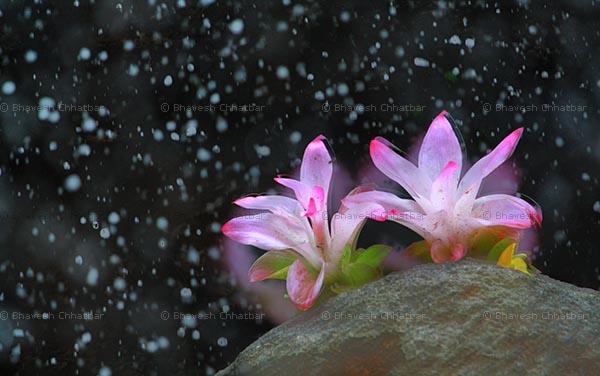 Hill Turmeric - Curcuma Pseudomontana - Kachura - Raan Halad [रानहळद] - Shindalvaan [शिंदळवान] - Shindalvaani [शिंदळवानी] - Kattu Manjal - [Zingiberaceae (Ginger Family)]